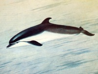 Афалина Tursiops truncatus